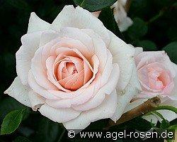 penny lane climbing rose buy at agel rosen. Black Bedroom Furniture Sets. Home Design Ideas