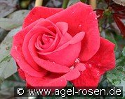 Red Flame (Climbing Rose)
