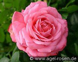 rosanna climbing rose buy at agel rosen. Black Bedroom Furniture Sets. Home Design Ideas
