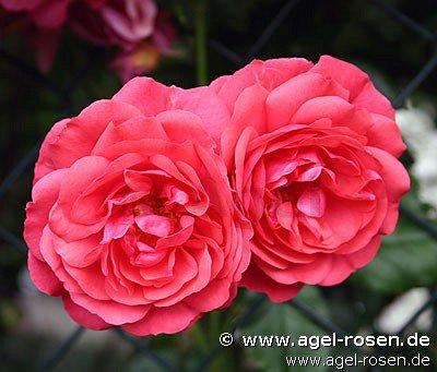 rosarium uetersen climbing rose buy at agel rosen. Black Bedroom Furniture Sets. Home Design Ideas