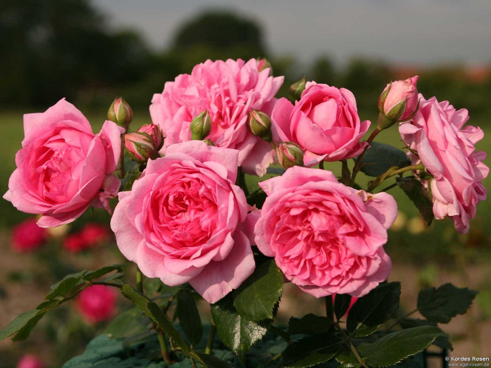 sweet laguna climbing rose buy at agel rosen. Black Bedroom Furniture Sets. Home Design Ideas
