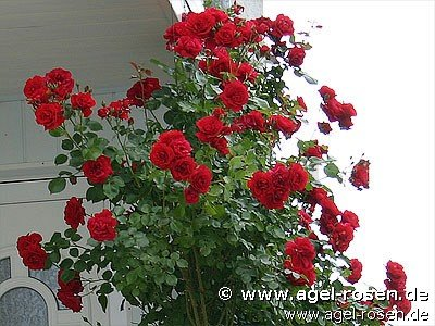 sympathie climbing rose buy at agel rosen. Black Bedroom Furniture Sets. Home Design Ideas