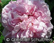 Ispahan (Damascene Rose)
