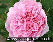 Jacques Cartier (Damascene Rose)