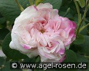 Leda (Damascene Rose)
