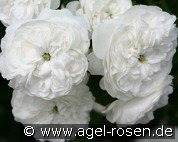 Mme. Hardy (Damascene Rose)