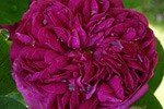 Rose de Resht (Damascene Rose)