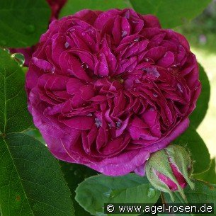 rose de resht damaszenerrose kaufen bei agel rosen. Black Bedroom Furniture Sets. Home Design Ideas