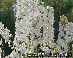 rittersporn belladonna hybride 39 casa blanca 39 bei agel rosen online kaufen delphinium. Black Bedroom Furniture Sets. Home Design Ideas