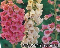 Fingerhut (Digitalis purpurea 'Gloxiniaeflora')