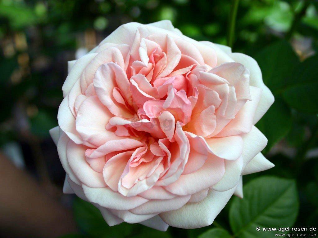 aphrodite edelrose kaufen bei agel rosen. Black Bedroom Furniture Sets. Home Design Ideas