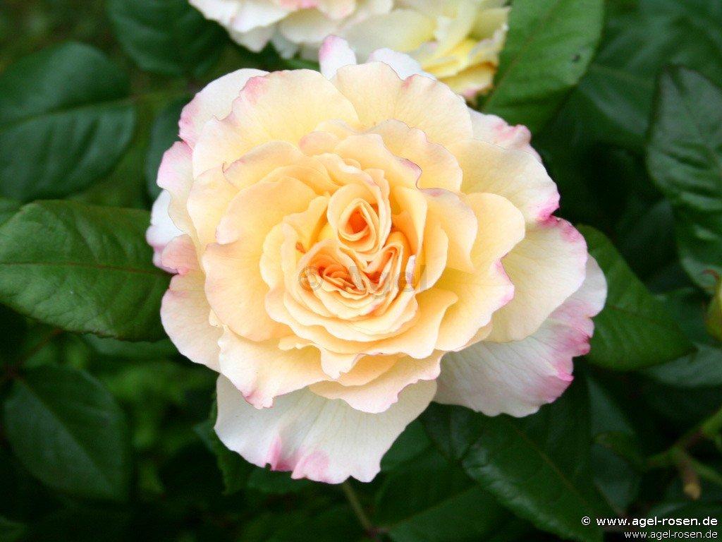 aquarell edelrose kaufen bei agel rosen. Black Bedroom Furniture Sets. Home Design Ideas