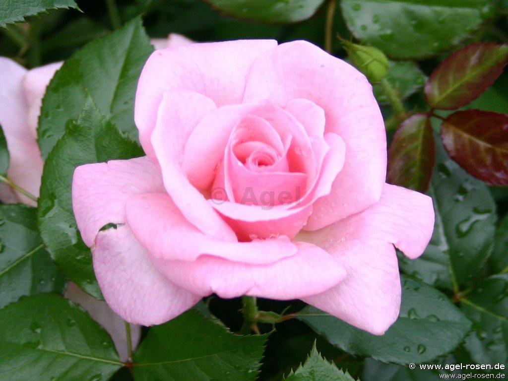 bayerntraum edelrose kaufen bei agel rosen. Black Bedroom Furniture Sets. Home Design Ideas