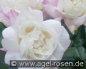 Crown Princess Mary (Edelrose)