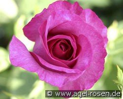 Derby Hagen Gmelin Rose (Edelrose)
