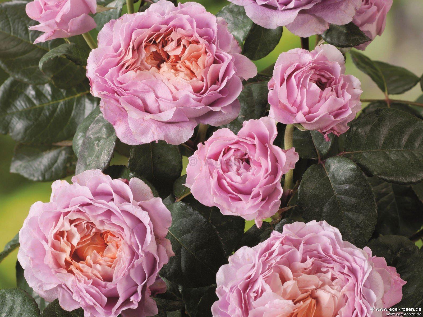 eisvogel edelrose kaufen bei agel rosen. Black Bedroom Furniture Sets. Home Design Ideas