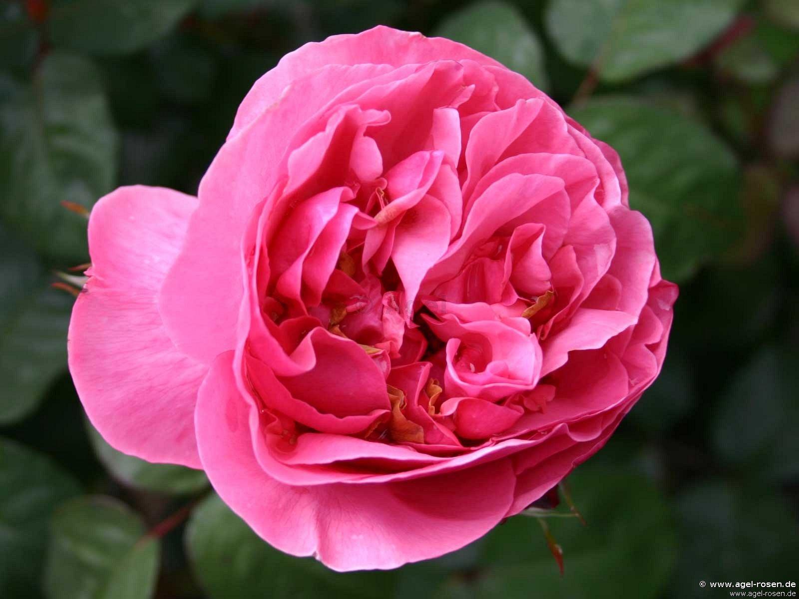 elbflorenz edelrose kaufen bei agel rosen. Black Bedroom Furniture Sets. Home Design Ideas