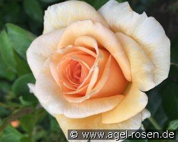 Elin's Rose - Plant'n'relax