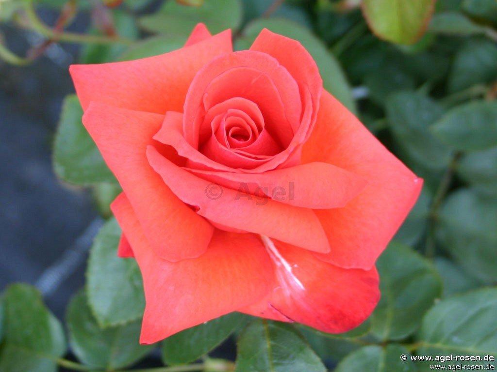 rose feuerzauber online kaufen agel rosen 1 5 liter. Black Bedroom Furniture Sets. Home Design Ideas