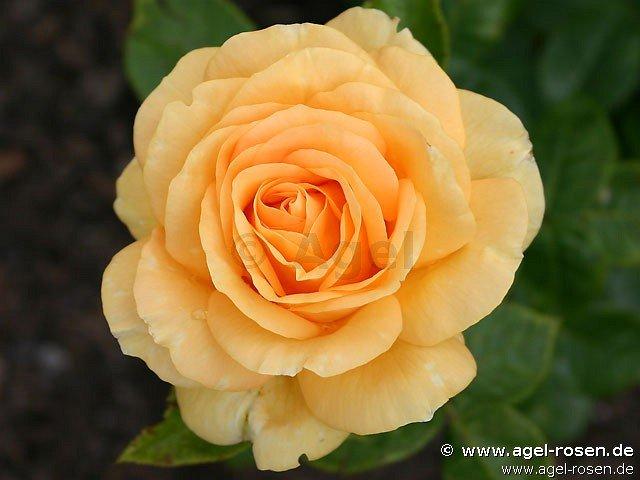golden lady edelrose kaufen bei agel rosen. Black Bedroom Furniture Sets. Home Design Ideas