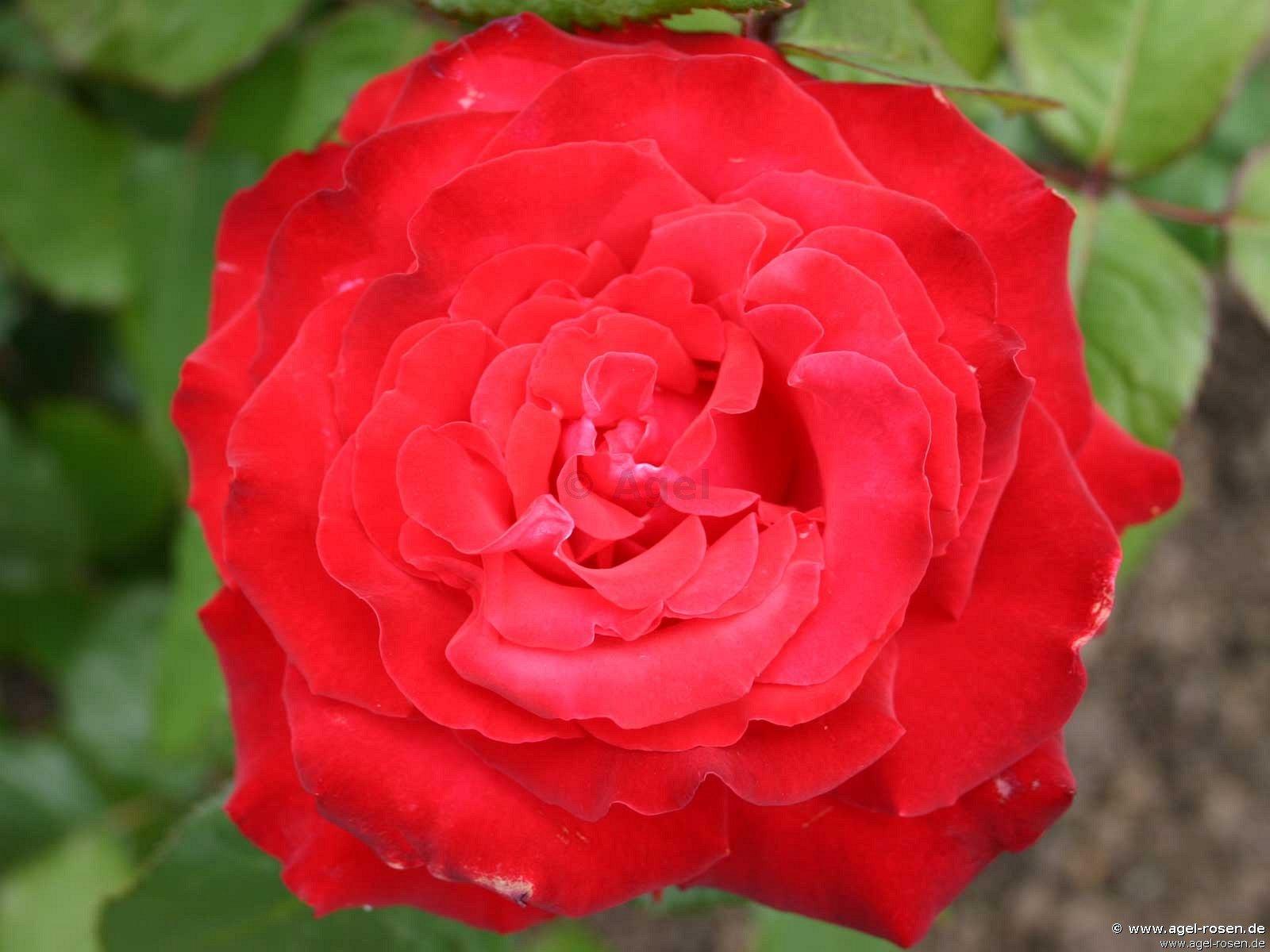 grande amore edelrose kaufen bei agel rosen. Black Bedroom Furniture Sets. Home Design Ideas