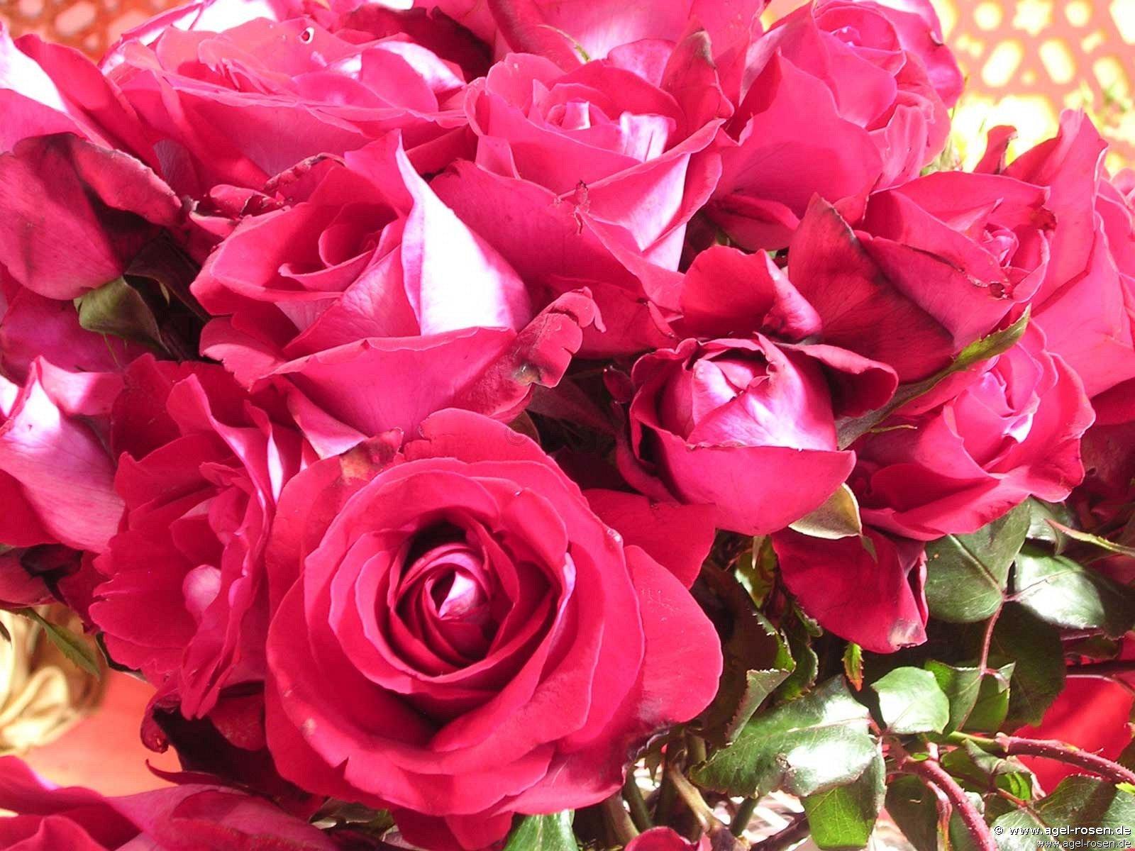 halleluja alleluia edelrose kaufen bei agel rosen. Black Bedroom Furniture Sets. Home Design Ideas