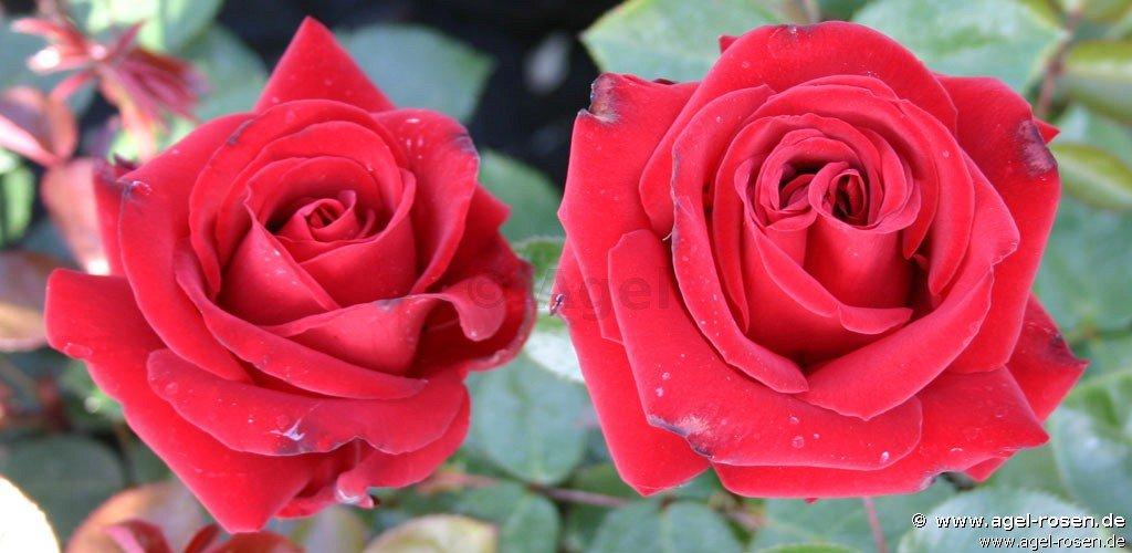 ingrid bergman edelrose kaufen bei agel rosen. Black Bedroom Furniture Sets. Home Design Ideas
