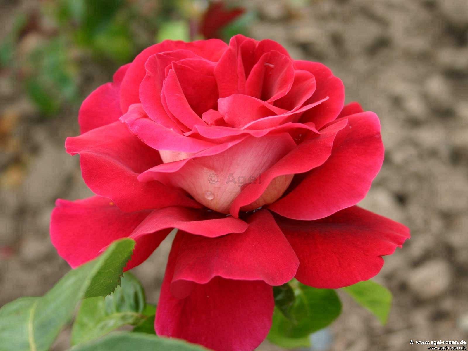 kronenburg edelrose kaufen bei agel rosen. Black Bedroom Furniture Sets. Home Design Ideas