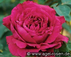 La Rose des 4  Vents