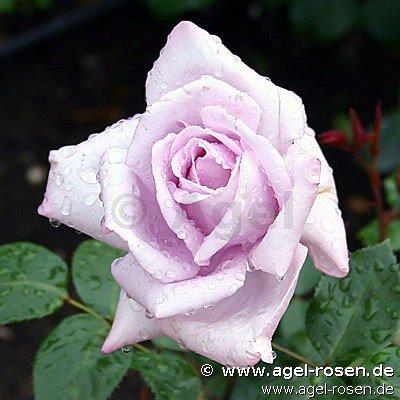 mainzer fastnacht edelrose kaufen bei agel rosen. Black Bedroom Furniture Sets. Home Design Ideas