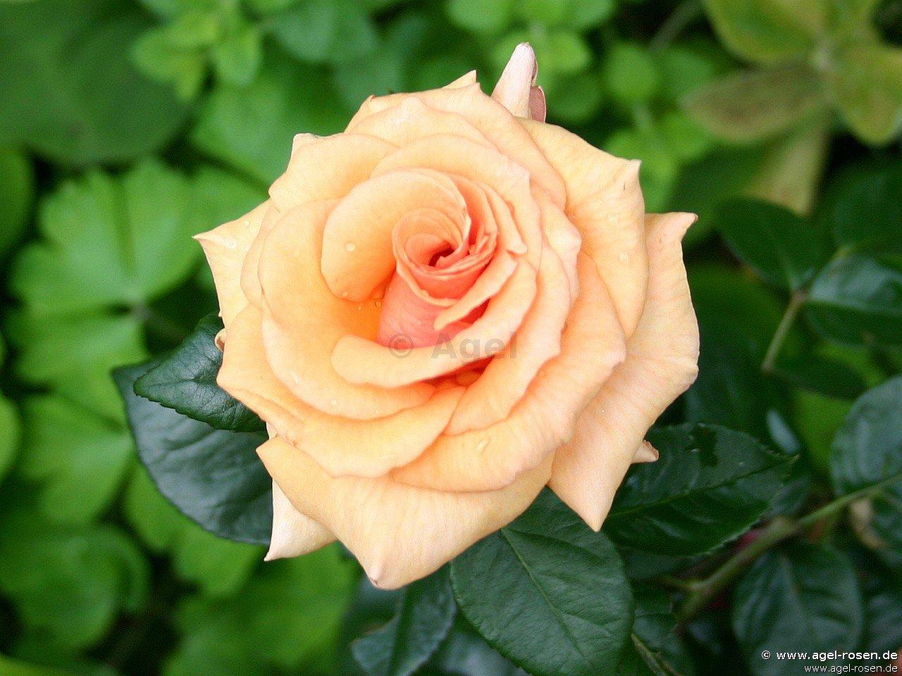 paco rabanne edelrose kaufen bei agel rosen. Black Bedroom Furniture Sets. Home Design Ideas