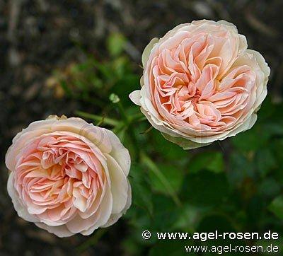 pastella edelrose kaufen bei agel rosen. Black Bedroom Furniture Sets. Home Design Ideas