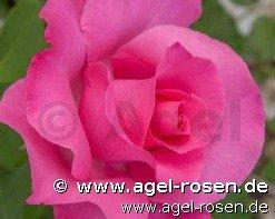 paul mccartney rose edelrose kaufen bei agel rosen. Black Bedroom Furniture Sets. Home Design Ideas