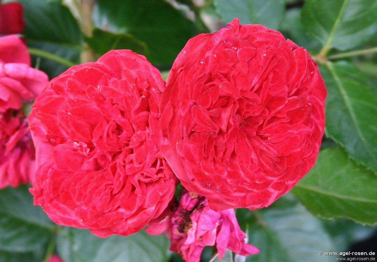 rose piano online kaufen agel rosen hochstammrosen. Black Bedroom Furniture Sets. Home Design Ideas
