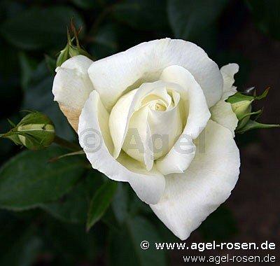 roy black edelrose kaufen bei agel rosen. Black Bedroom Furniture Sets. Home Design Ideas