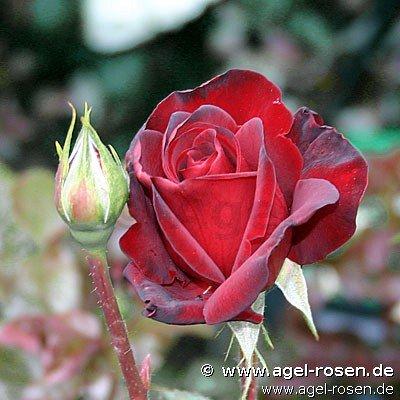 schwarze rose schwarze rose einebinsenweisheit. Black Bedroom Furniture Sets. Home Design Ideas