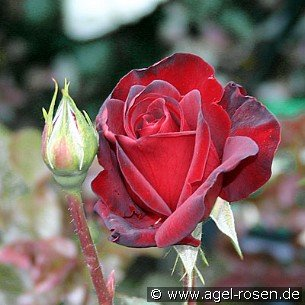 schwarze madonna edelrose kaufen bei agel rosen. Black Bedroom Furniture Sets. Home Design Ideas