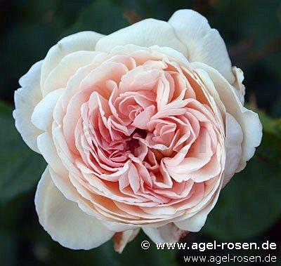sebastian kneipp edelrose kaufen bei agel rosen. Black Bedroom Furniture Sets. Home Design Ideas