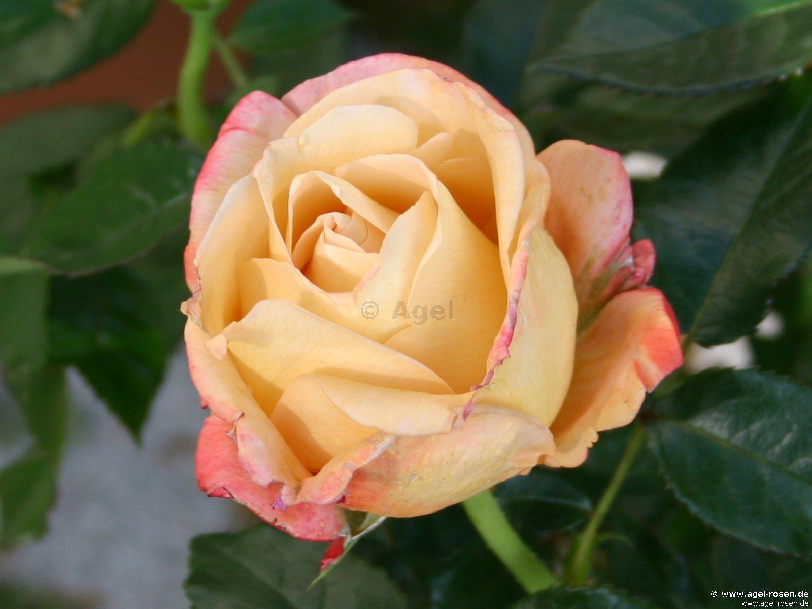 vend e imp riale edelrose kaufen bei agel rosen. Black Bedroom Furniture Sets. Home Design Ideas