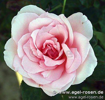 violina edelrose kaufen bei agel rosen. Black Bedroom Furniture Sets. Home Design Ideas