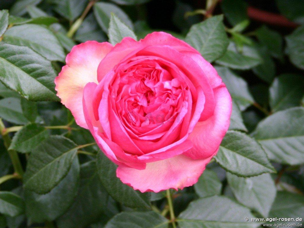 walzertraum edelrose kaufen bei agel rosen. Black Bedroom Furniture Sets. Home Design Ideas