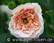 Apricot Parfait syn. Evelyn (Englische Rose)