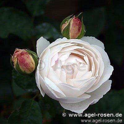 auscat englische rose kaufen bei agel rosen. Black Bedroom Furniture Sets. Home Design Ideas