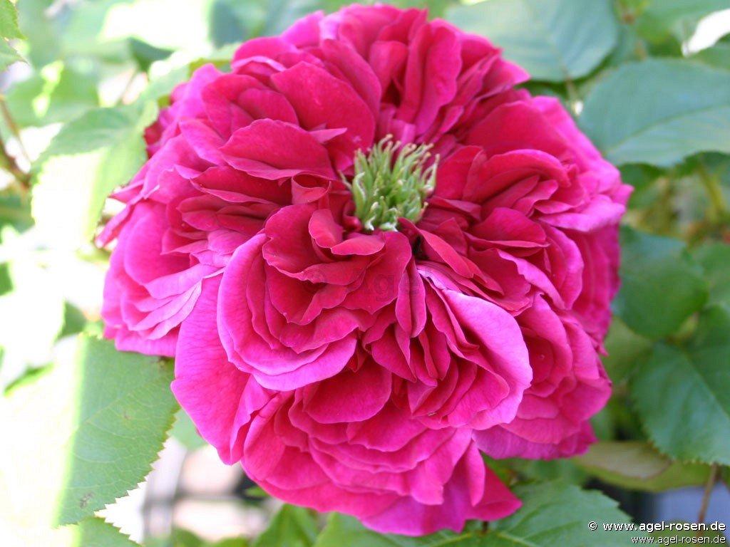 auschild englische rose kaufen bei agel rosen. Black Bedroom Furniture Sets. Home Design Ideas