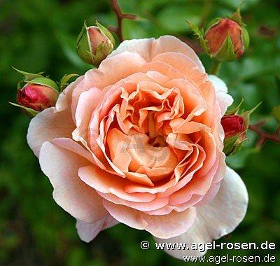 1000 images about rosa on pinterest english roses. Black Bedroom Furniture Sets. Home Design Ideas