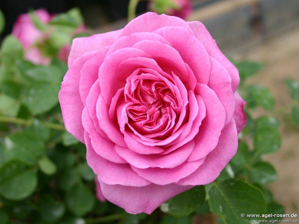 auslian englische rose kaufen bei agel rosen. Black Bedroom Furniture Sets. Home Design Ideas