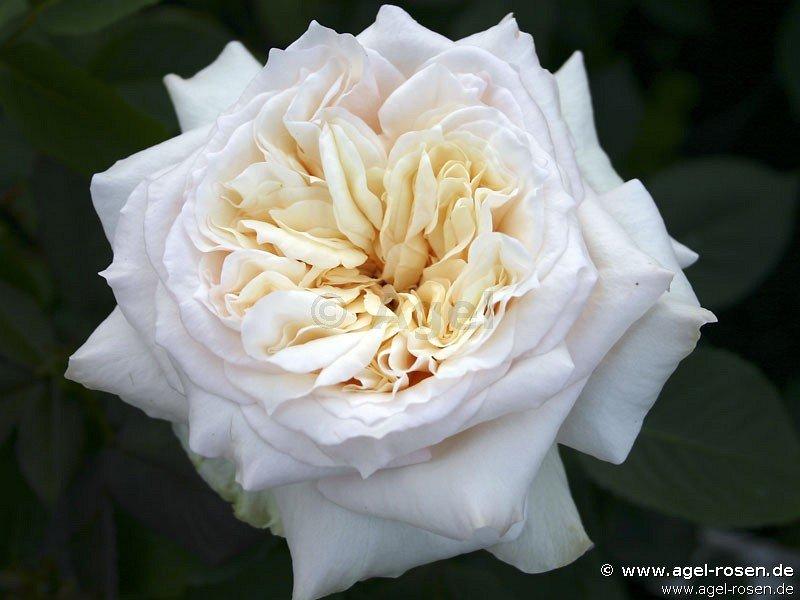 bad homburg englische rose kaufen bei agel rosen. Black Bedroom Furniture Sets. Home Design Ideas