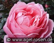Brother Cadfael (Englische Rose)