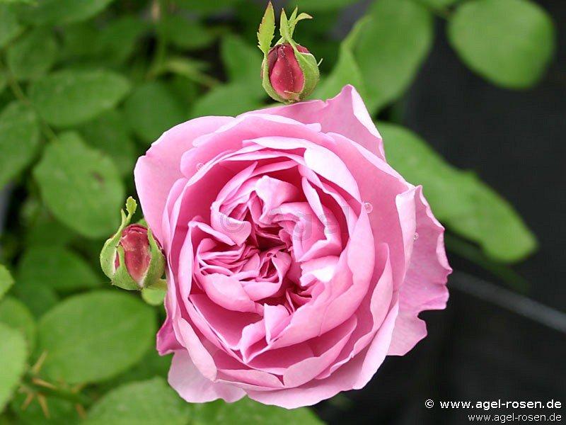 charles r mackintosh englische rose kaufen bei agel. Black Bedroom Furniture Sets. Home Design Ideas