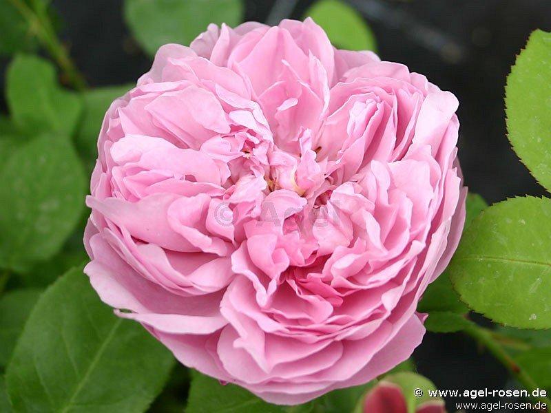 charles r mackintosh englische rose kaufen bei agel rosen. Black Bedroom Furniture Sets. Home Design Ideas